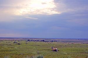 Bighorn Sheep, Ovis Canadensis, in Buffalo Gap National Grasslands by Donna O'Meara