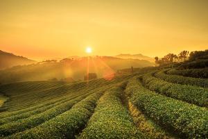 Sunrise View of Tea Plantation Landscape at 101 Chiang Rai Tea,North of Thailand, Vibrant Color & S by DONOT6_STUDIO