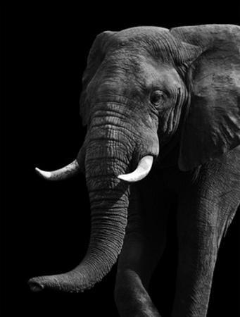 Artistic Black And White Elephant by Donvanstaden