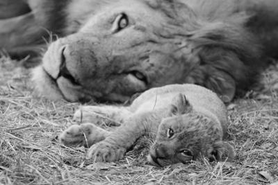 Cute Lion Cub Resting With Father by Donvanstaden