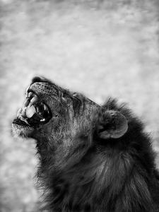Lion Displaying Dangerous Teeth by Donvanstaden