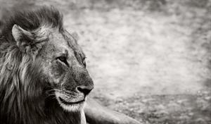 Lion by Donvanstaden