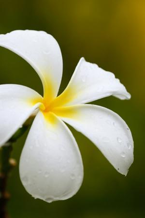 White Plumeria Flower with Water Drops by Donyanedomam