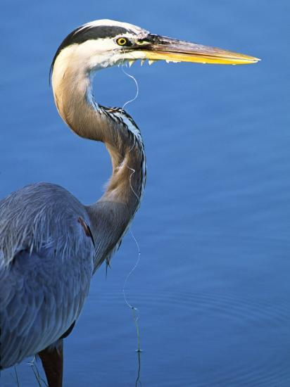 Doomed Great Blue Heron, Venice, Florida, USA-Charles Sleicher-Photographic Print