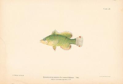 Doratonotus Decoris-A^ Poiteau-Premium Giclee Print