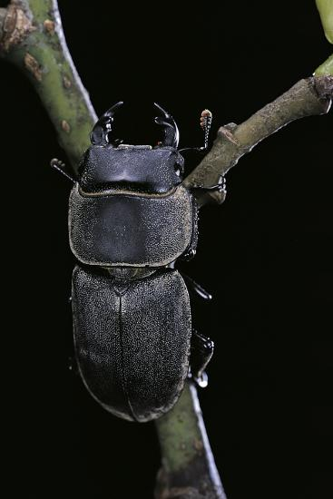Dorcus Parallelipipedus (Small Stag Beetle)-Paul Starosta-Photographic Print