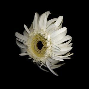Daisy 8: Floating White Gerbera Daisy by Doris Mitsch