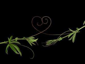 Passionvine Heart by Doris Mitsch