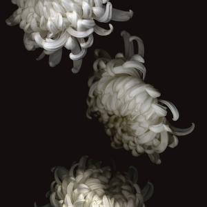 Tumbling White Chrysanthemums by Doris Mitsch