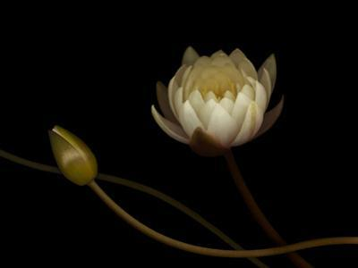 Water Lily B: Floating Water Lily Blossom by Doris Mitsch