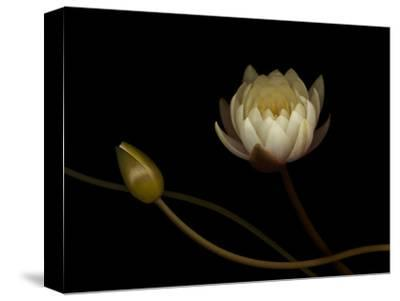 Water Lily B: Floating Water Lily Blossom