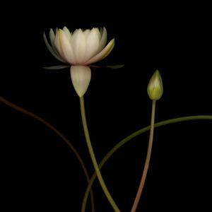 Water Lily D: Rising Water Lily by Doris Mitsch