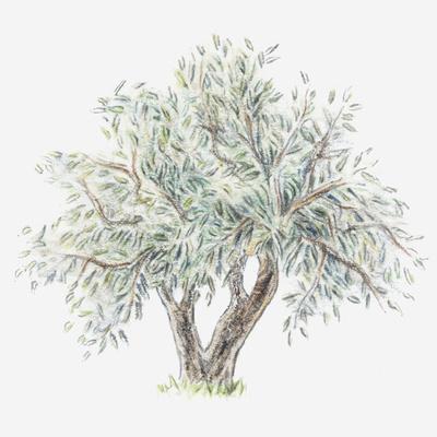 Illustration of an Olive Tree