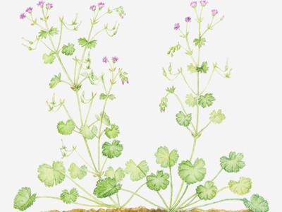 Illustration of Geranium Pyrenaicum (Hedgerow Crane's-Bill), Leaves an Pink Flower on Long Stems