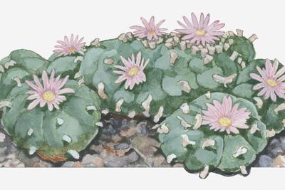 Illustration of Lophophora Williamsii (Peyote) Cactus Woth Pink Flowers