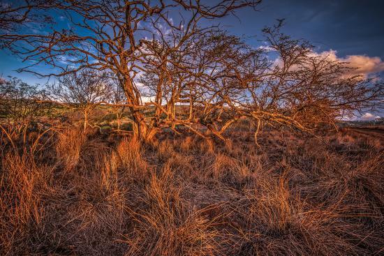 Dormant Kiawe Tree at End of Dry Season, Along Forest Reserve Road to Kamakou-Richard A Cooke III-Photographic Print