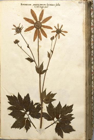 Doronicum Americanum Lacinato Leaves--Giclee Print