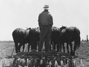 Corn Fields in California by Dorothea Lange