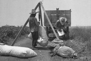 Cotton Weighing by Dorothea Lange