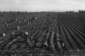 Crating Carrots by Dorothea Lange