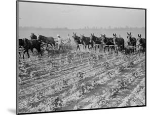 Cultivating cotton in Arkansas, 1938 by Dorothea Lange