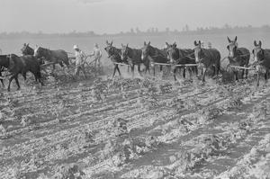 Cultivating Cotton by Dorothea Lange