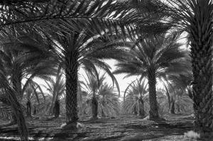 Date Palms by Dorothea Lange