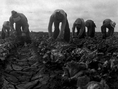 Filipinos Cutting Lettuce, Salinas, California, 1935