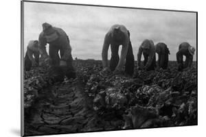 Filipinos Cutting Lettuce by Dorothea Lange
