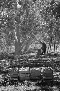 Harvesting Pears by Dorothea Lange
