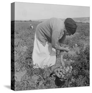 Mexican migrant woman harvesting tomatoes in California, 1938 by Dorothea Lange