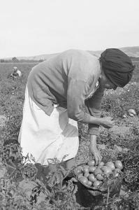 Mexican Migrant Woman Harvesting Tomatoes by Dorothea Lange