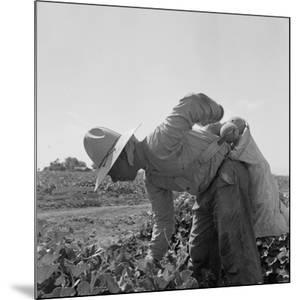 Mexican picking melons in California, 1937 by Dorothea Lange