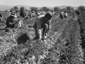 Migrant carrot pullers in California, 1937 by Dorothea Lange
