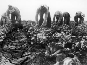 Migrant Laborers Crop Lettuce in a Posture They Maintain All Day Long by Dorothea Lange