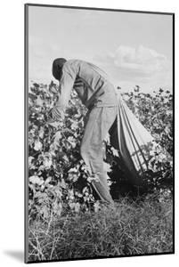 Migratory Field Worker Picking Cotton by Dorothea Lange