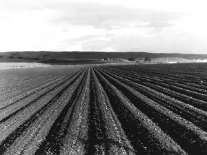 Pea Fields Near San Juan Bautista, California by Dorothea Lange