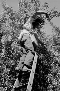 Picking Pears by Dorothea Lange