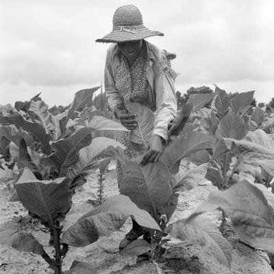 Worming the tobacco, Wake County, North Carolina, 1939