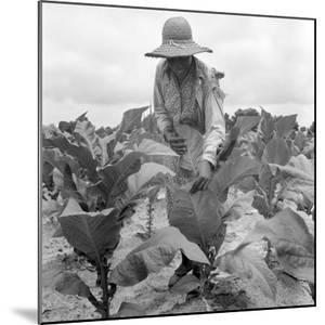Worming the tobacco, Wake County, North Carolina, 1939 by Dorothea Lange