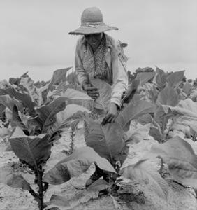 Worming Tobacco by Dorothea Lange