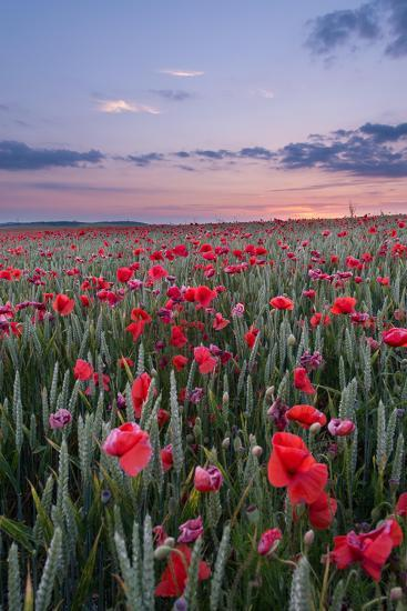 Dorset Poppy Field at Sunset-Oliver Taylor-Photographic Print