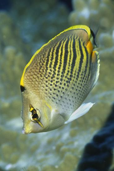Dot & Dash Butterflyfish-Hal Beral-Photographic Print