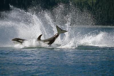 Double Breaching Orcas Bainbridge Passage Pws Ak Summer Sc-Design Pics Inc-Photographic Print