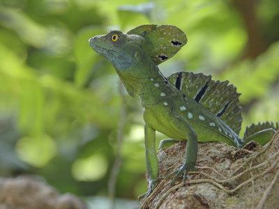 https://imgc.artprintimages.com/img/print/double-crested-basilisk-basilisk-lizard-tortuguero-national-park-costa-rica_u-l-q10o2xw0.jpg?p=0