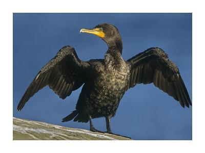 Double-crested Cormorant drying its wings, North America-Tim Fitzharris-Art Print