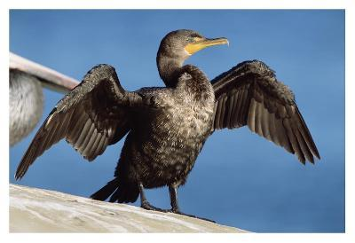 Double-crested Cormorant drying wings, California-Tim Fitzharris-Art Print