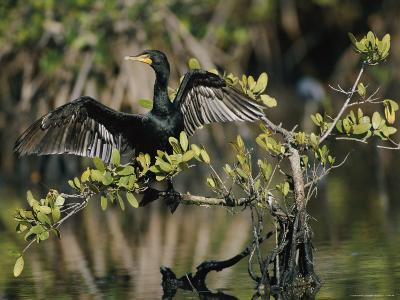 Double-Crested Cormorant with Wings Outstretched-Roy Toft-Photographic Print