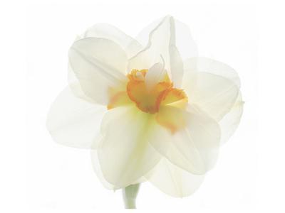 Double Daffodil II-Judy Stalus-Art Print