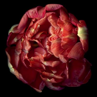 Double Red Tulip-Magda Indigo-Photographic Print